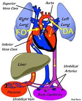 Fetal Circulation   Congenital Heart Disease - Cove Point